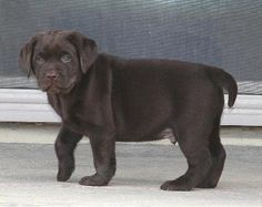 Labrador Retriever, English Chocolate Labrador Breeder, Dog Breed Info ...