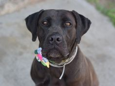 SAFE 5-13-2015 by Heaven Can Wait Rescue --- SUPER URGENT DIAMOND – A1034787 FEMALE, CHOCOLATE, BOERBOEL MIX, 9 yrs OWNER SUR – EVALUATE, HOLD FOR ID Reason OWNER SICK Intake condition EXAM REQ Intake Date 04/29/2015