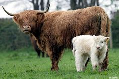 Rare white Highland calf