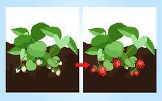 7 Ways to Grow Strawberries - wikiHow