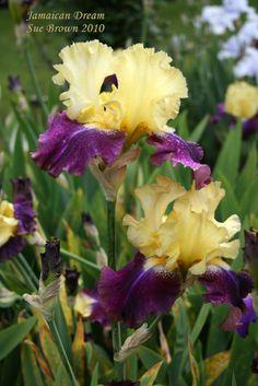 Jamaican Dream Iris.....my favorite flowers