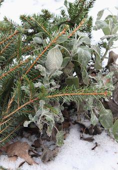 Joulukuusen oksat suojaavat pihakasveja!  http://blogit.viherpiha.fi/rouvaryytimaa/joulukuusen-oksat-suojaavat-pihakasveja/