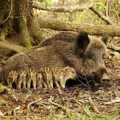 Wild mother pig with her young Animals Images, Animals And Pets, Animal Pictures, Baby Animals, Cute Animals, Large Animals, Wild Creatures, Woodland Creatures, Beautiful Creatures
