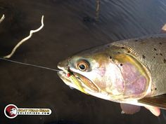 Bonneville cutthroat trout from Strawberry Reservoir in Utah #flyfishing