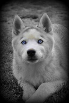 Blue-eyed Amber the Siberian Husky puppy