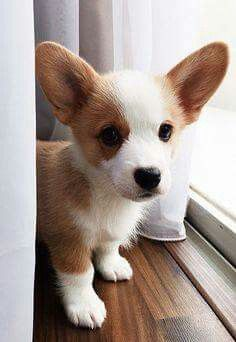 Omgoodness how absolutely adorable...bb corgi.             mt~