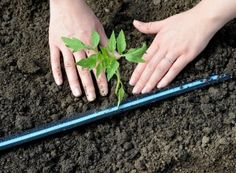 Plantare răsaduri tomate Asparagus, Green Beans, Carrots, Vegetables, Gardening, Paradis, Spring, Veg Garden, Grow Tomatoes