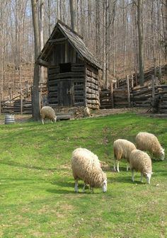 Sheep grazing in peace, heads down without a care ~ May I rest in the peace that Jesus has given me from the cares of the world