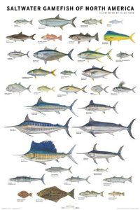 Saltwater Gamefish of North America Poster: Flick Ford: 9780979903748: Amazon.com: Books