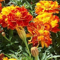 Plant plenty of marigolds (the scented kind) in the garden for color and to deter a variety of pests.  Be cautious if you have slug problems, though, as they are a favorite of the slimy, shelled critters.