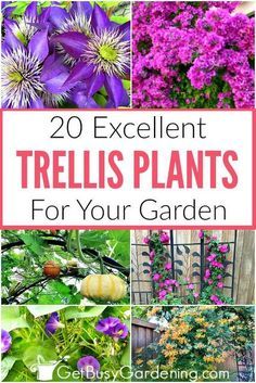 If you're wondering what plants grow on a trellis, then this list of trellis plants is for you! It covers everything from climbing flowers for sun or shade, vining perennials, annuals, tropicals, and even vining vegetables. You'll find tons of options so you can choose the best climbing plants for your garden.