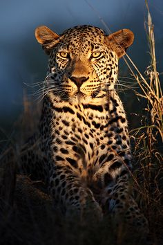 'Leopard of the Night', Makepisi, male ~  Timbavati Private Nature Reserve, Kruger Park, South Africa by Xenedis.