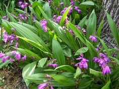 I used to have a giant patch of Bletilla Striata (Chinese Ground Orchid) growing in my yard on Rutledge Ave. I love them so much. You can see them in Charleston in the spring at Magnolia Plantation.