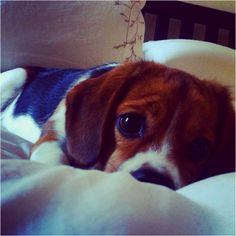 My gorgeous Beaglier Ollie