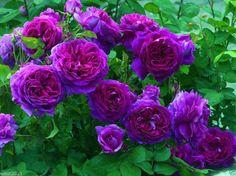 Climbing Rose Seeds,PURPLE/BLUE FLOWERS, Perennials , fence, pillar, shed  #RoseBush