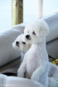 Obtain excellent recommendations on small dogs. They are actually offered for you on our internet site. Baby Puppies, Cute Puppies, Cute Dogs, Dogs And Puppies, Doggies, Animals And Pets, Cute Animals, Baby Animals, Losing A Dog