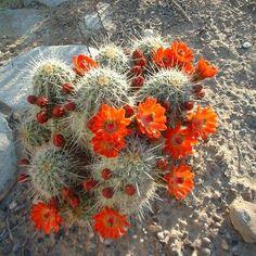 Scarlet Hedgehog Cactus Seeds (Echinocereus coccineus) 20+Seeds