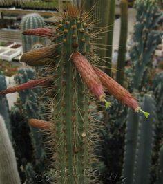 Cleistocactus morawetzianus