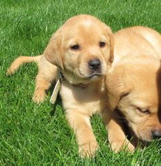 These Labrador puppies are enjoying the sunshine.