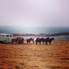 Icelandic horses in storm, Ishestar