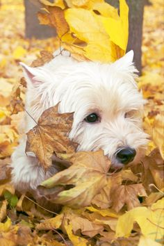 .Westie in golden Fall Leaves