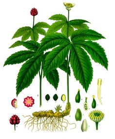 Goldenseal (Hydrastis canadensis), is one of the most powerful antibiotic herbs, and is a gift to us from our Indigenous American ancestors.  Goldenseal is now an endangered plant because of overharvestation. Use sparingly and with care. While the arial parts have some value medicinally, it is the root that contains the most powerful active ingredient.  Be sure to buy only sustainably farmed rather than wildcrafted goldenseal.