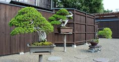 """The """"Bonsai Fundamentals Course"""" costs $39.99 for unlimited access. No membership, no recurring fees! There's a free lesson to preview, check: http://www.bonsaiempire.com/courses/fundamentals-course #bonsai #onlinecourse #bonsaitree"""