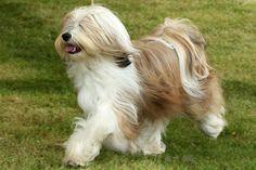 Lilasong Tibetan Terriers Tibet Terrier, Terrier Puppies, Terriers, Cute Puppies, Dogs And Puppies, Animals And Pets, Cute Animals, Pet Dogs, Dog Cat
