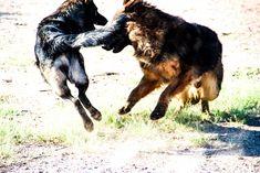 www.elitek-9.com   #germanshepherd #gsd #protectiondogs #exotics #luxurylife #czechshepherd Executive Protection, Working Dogs, German Shepherds, Dog Training, Moose Art, Lion Sculpture, Puppies, Statue, Animals