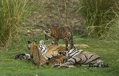 Tigress T19 with her cubs in Ranthambore National Park, Enjoy your jungle safari trip with naturalist in Ranthambore.  #Tiger, #Safari, #Jungle, #travel, #Ranthambore, #India.