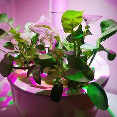 @rebe_amico Plantui smart garden 🌱🌱🌱 @plantui_italia  #plantuismartgarden #plantuisg #plantui #plantui3 #plantuitalia #plantuiph #garden #gardendesign #gardening_feature #gardenrocket #rucola #green #3weeks #harvest #harvesting Smart Garden, Garden Design, Green, Plants, Instagram, Italia, Landscape Designs, Plant, Planets