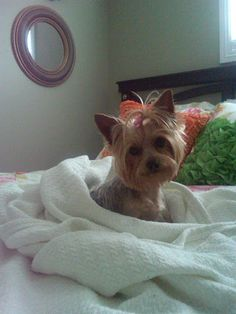 Yorkie-they twirl round and round until the blanket is adjusted perfectly to a yorkies fit