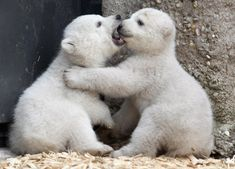 baby polar bear pictures | Baby polar bears make their public debut in Munich
