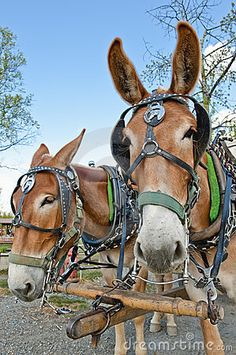 Mules, through the ages, have been used for carrying, plowing, Army duties, riding and pulling. Like these, harnessed up, they work well, due to their strength and larger stronger hooves, compared to the horse. They are also calmer than a horse, in most cases, another reason they were bred for pulling in a team.