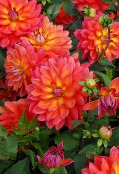 ~~Dahlia 'Fire Pot' decorative dahlia - the flowers are in a hot blend of pink and orange, with a touch of yellow at the center. Very floriferous, blooms, 3 ft tall Rose Cottage Plants~~ Orange Flowers, Beautiful Flowers, Dahlia Flowers, Paper Flowers, Gerbera Jamesonii, Fleur Orange, Coral Orange, Fire Pots, Bloom