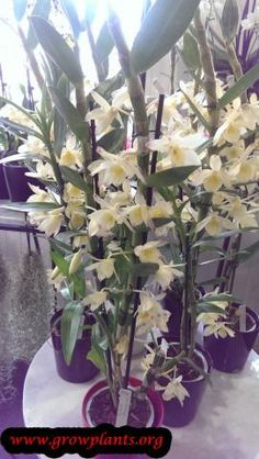 Dendrobium nobile - How to grow & care Dendrobium Nobile, Growing Orchids, Orchid Care, Season Colors, Plants, Caring For Orchids, Plant, Planets
