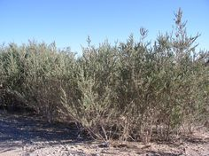 Pluchea sericea. Arrow- weed. Native evergreen deciduous herbaceous perennial shrub/tree. Spreads by runners. Forms patch. Great screen plant. Stalks can be used for thatching. Full sun. Slow/moderate grower.