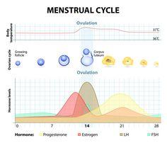 Fruchtbare Tage Frau: Zyklus der Frau