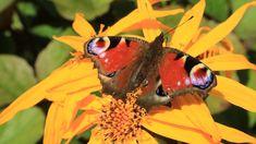 Kuvia neljästä vuodenajasta Moth, Butterflies, Insects, Flowers, Animals, Animales, Animaux, Butterfly, Animal