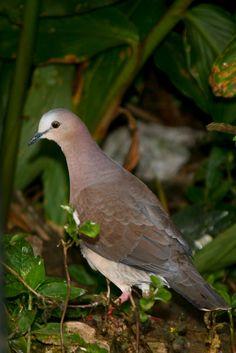Foto juriti-gemedeira (Leptotila rufaxilla) por Reni Santos | Wiki Aves - A Enciclopédia das Aves do Brasil