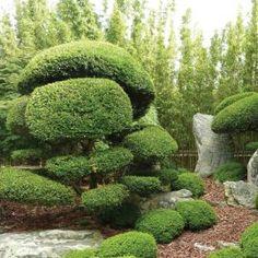 Juniperus media 'Mint Julep'  Acheter Vos Arbres chez le spécialiste du Jardin Zen français . ART Garden www.art-garden.fr