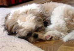 Shih Tzu-ww.jpg / S / Shih Tzu / / Dog Breed Picture