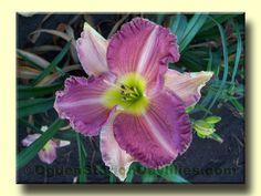 ogdenstationdaylilies.com - Daylily Images B-Bl