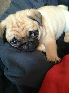 Since Join the Pugs bring the cuteness to Pug lovers all over the world. If you love Pugs. you'll love our website and social media. Pug Love, I Love Dogs, Cute Dogs, Cute Baby Pugs, Cute Funny Animals, Cute Baby Animals, The Animals, Pug Puppies, Terrier Puppies