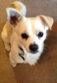 Barry - Chihuahua
