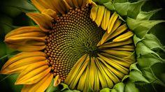 Bing Image Archive: Immature sunflower (© Marion Faria/500px)(Bing United Kingdom)