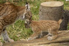 מגה-חמוד: שלישיית חתלתולות שונר