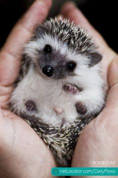 Daily Paws Picture of the Day: Little Hedgehog - http://www.vetlocator.com/dailypaws/2013/05/daily-paws-picture-of-the-day-little-hedgehog/