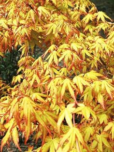 Acer palmatum 'Katsura' is a handsome large shrub or eventually small tree, grown for its fantastic display of vivid golden-yellow leaves in spring. Trees And Shrubs, Trees To Plant, Specimen Trees, Acer Palmatum, Rare Species, Yellow Leaves, Japanese Maple, Garden Trees, Small Trees