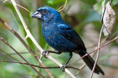 Azulão (Cyanocompsa brissonii). O azulão tem uma ampla distribuição no Brasil e é encontrado em todos os biomas do país, inclusive na Caatinga. O sexo dos animais pode ser identificado pela cor: o macho é azulado (foto) e a fêmea é marrom.